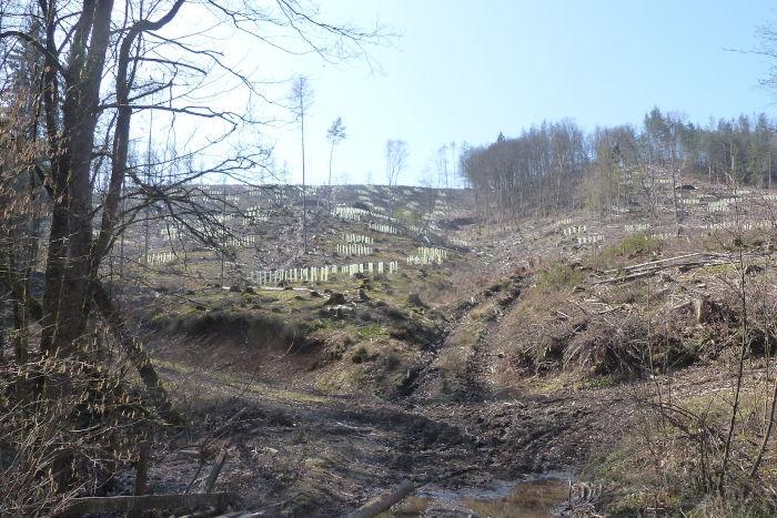 Landeswald in Windeck - abgeholzt.