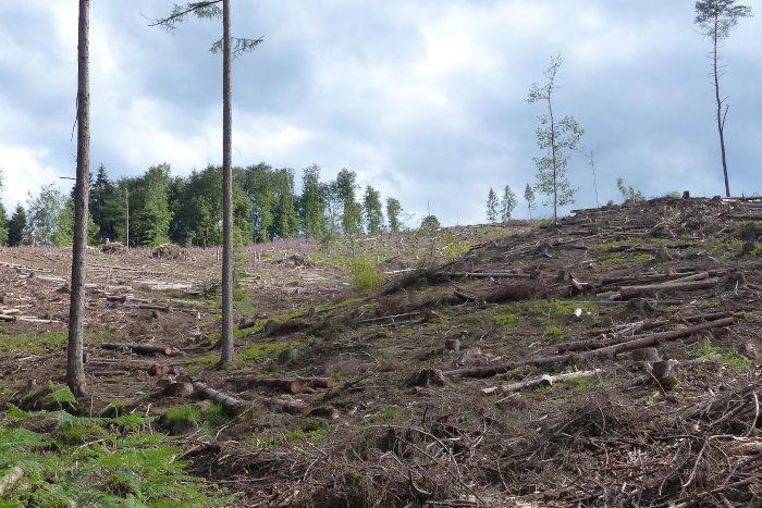 Abgeholzter Forst in Windeck.